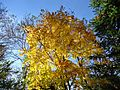 Feb 2015 Tree in backyard in full autumn color bloom.JPG