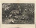 Felis pardus - 1874 - Print - Iconographia Zoologica - Special Collections University of Amsterdam - UBA01 IZ22100242.tif