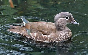 Description de l'image  Fichier:Female Mandarin Duck 800.jpg .