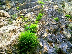 Fern on rock in Shahdag National Park.jpg