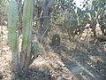 Ferocactus recurvus (5759162966).jpg