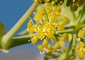 Ferula tingitana - Image: Ferula tingitana Inflorescence (8806590199)