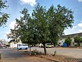 Ficus benghalensis near Thanjavur Railway Junction IMG 20180512 155312868 HDR.jpg