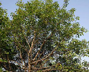 Ficus benjamina - Image: Ficus benjamina (Weeping Fig) in Hyderabad W IMG 8314