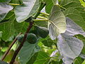 Ficus carica mit Früchten Mai 2014.JPG
