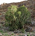 Ficus cordata IMG 8502.JPG