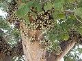 Ficus sycomorus in Tel Aviv-Yafo 01.jpg