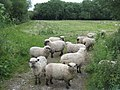 Field of sheep in the Wylye Valley - geograph.org.uk - 1360126.jpg