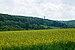 Field of yellow flowers in Laurensberg (DSCF5908).jpg