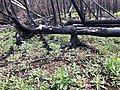 Fireweed after Swan Lake fire.jpg