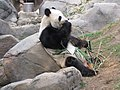 First eating the bamboo shoots-- (7987448506).jpg