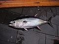 Fish4499 - Flickr - NOAA Photo Library.jpg