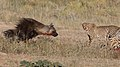 Five cheetahs were feeding on a Springbok kill one morning in the Kgalagadi. (34376904062).jpg