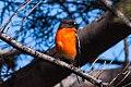 Flame Robin (Petroica phoenicea) (8079688788).jpg