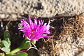 Flickr - brewbooks - Carpobrotus rossii (Ice plant) (1).jpg
