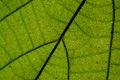 Flickr - ggallice - Leaf texture (6).jpg