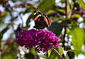 Flickr - ronsaunders47 - Butterfly on the the Budlea..jpg
