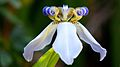 Flor de Iris-da-praia.jpg