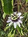Flor de maracujá (Passiflora edulis).jpg