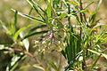 Flora della Sardegna 108 (3).JPG