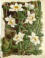 Flore des serres v17 097a.jpg