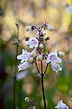 Flower, Penstemon Cordifolius - Flickr - nekonomania (1).jpg