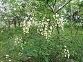 Flower Blk Locust 2016-05-28 007.jpg