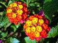 Flowers of Iran گلهای ایران 16.jpg