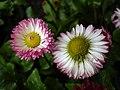 Flowers of Iran by qom city 01.jpg