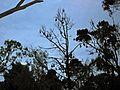 Flying Foxes Tree - Flickr - GregTheBusker.jpg
