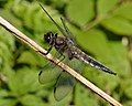 Four-spotted Chaser (Libellula quadrimaculata) - Oslo, Norway 2020-08-04 (02).jpg
