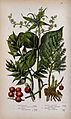 Four flowering and fruiting plants; black bryony, herb Paris Wellcome V0044153.jpg