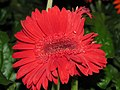 Freaky red double-gerbera.jpg