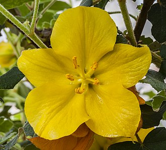 Fremontodendron - Fremontodendron californicum — Californian flannelbush.