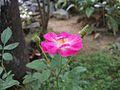 Fresh rose.jpg