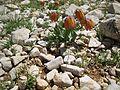 Fritillaria sp, Demirkazık 3.jpg