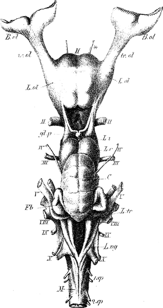 Terminal nerve - The original images (1878) of Fritsch's dogfish shark brain showing the nerve marked by an asterisk.