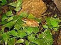 Frog Kurixalus IMG 0609 05.jpg