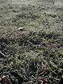 Frost on Grass.jpg