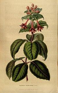 Fuchsia nigricans