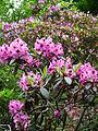 Fulda Rhododendron in Pink Juni 2012.JPG