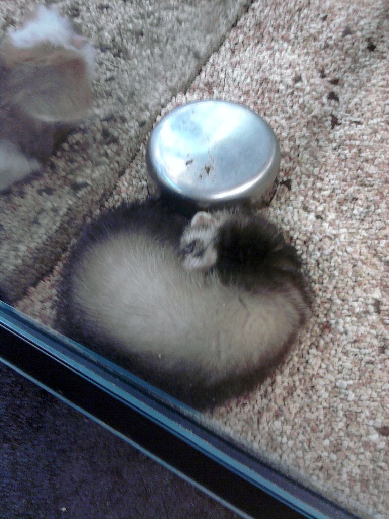 filefuret qui dortjpg wikimedia commons
