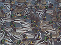 Gaggle of ducks 2.jpg