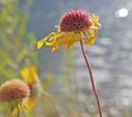 Gaillardia aristata post-flowering 9175483957 o (2).png