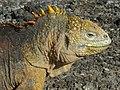 Galápagos land iguana - Flickr - pellaea.jpg
