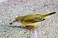 Galapagos Mangrove Warbler (47761510362).jpg
