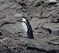 Galapagos Penguin (32833348207).jpg