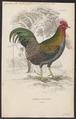 Gallus varius - 1833-1866 - Print - Iconographia Zoologica - Special Collections University of Amsterdam - UBA01 IZ17000005.tif