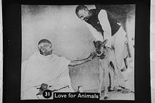 220px-Gandhi_with_calf