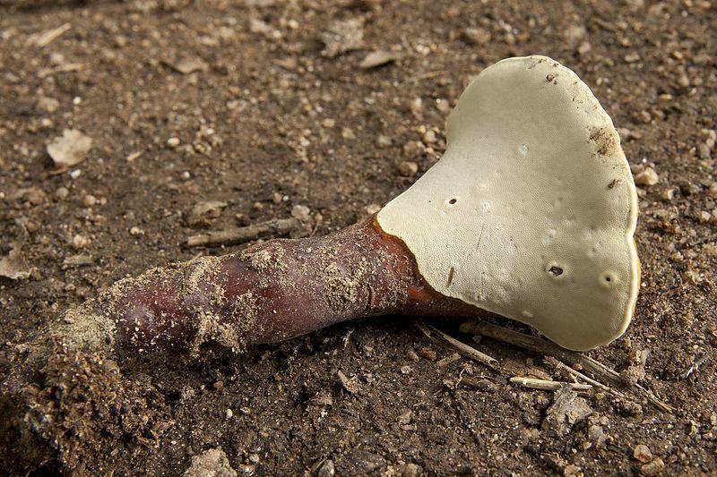 File:Ganoderma lucidum 09.jpg